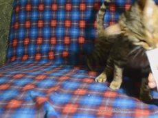 Бенгальские котята едят полезную пасту, Dakota Gold.flv